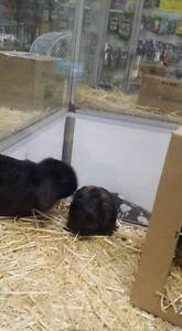 Dwarf Lop Rabbits **Vaccinated and Vet Checked** Stepney Norwood Area Preview
