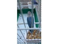 violet lovebird and blue lovebird pair with cage