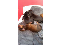 Smooth-haired Miniature Dachshund Puppies for sale