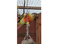 Pair of Cinnamon Green Cheeked Conures
