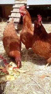 BACKYARD CHICKEN, EXCELLENT LAYERS , HENS Hampton Bayside Area Preview
