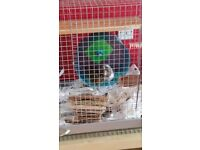 2 x Male Degus For Sale With Enclosure