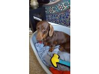 Dachshund Male Kc Registered