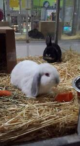 Mini Lop Rabbits **Vaccinated and Vet Checked** Stepney Norwood Area Preview