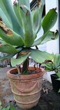 Agave in Terracotta Pot Raymond Terrace Port Stephens Area Preview