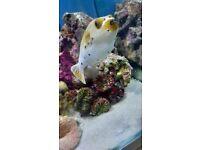 Dogface puffer fish (marine fish )