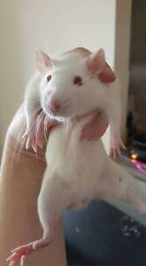 Female Rats Available Amaroo Gungahlin Area Preview