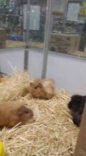 Guineapigs short & long haired Stepney Norwood Area Preview