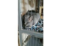 ** REDUCED ** chinchilla with cage