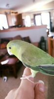 1 year old female parrotlet