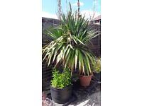 Mature Yucca Filamentosa for sale