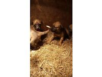 Lurcher puppies for sale,