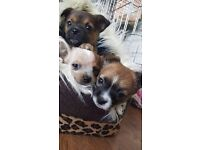 Chihuahua X Jack Russell Puppies For Sale £450 Each