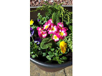 Filled barrel effect planters. FREE delivery in the G33 area.
