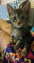 Alfie - KITTEN KAPERS RESCUE Cleveland Redland Area Preview
