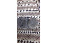 Purebred Netherland Dwarf rabbit babies