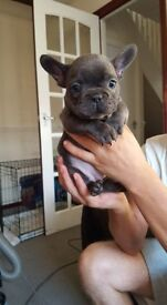 REDUCED KC Registered French Bulldog Puppies READY NOW