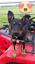 Kelpie Pup Margaret River Area Preview
