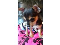 Teacup chihuahua! Born 7th october