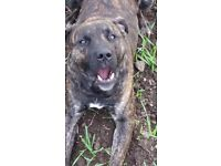 Great tempered staffy cross labadour 18 months old great wifh kids not been nuetered loving dog xx