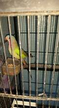 Pair Princess parrots with cage & nesting box Urunga Bellingen Area Preview