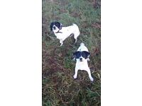 Two springer/collie cross dogs (female) (sprollies)