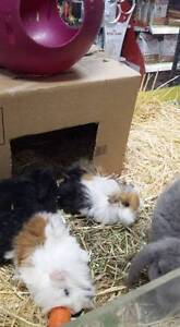 Long and Short Haired Guinea Pigs Stepney Norwood Area Preview