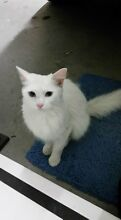 Found cute cat Rokeby Clarence Area Preview
