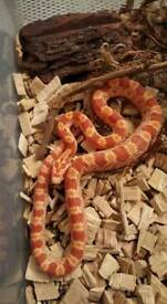 Amelanistic baby Corn Snake