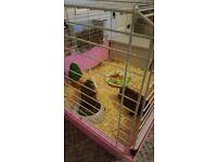Two female guinea pigs