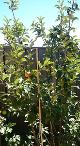 Dwarf Grafted Apples Trees x 3 (5 varieties) Banksia Grove Wanneroo Area Preview