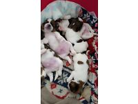 shih tzu pups 3 boys 1 girl fawn and white, will be ready 25th aug 100 deposit