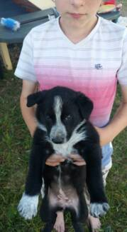Border Collie X Kelpie Cattle Pups Ebenezer Ipswich City Preview