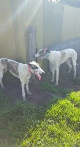 Greyhound as pet only Bargo Wollondilly Area Preview