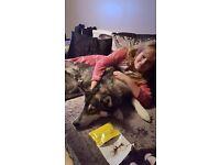 1 yr old pedigree husky female for sale