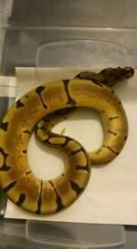 Spider het pied royal python