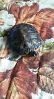 Male & Female red ear slider turtles + everything needed
