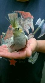 Beautiful silly tame hand reared baby cockatiel READY NOW