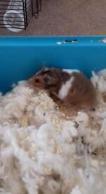 Male Syrian Hamster with cage and accessories