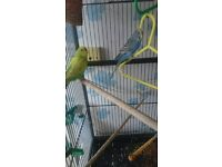 two budgies with cage and food
