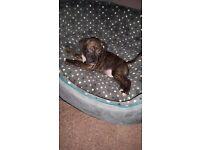 Staffy 12 week old.