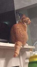 """LOST CAT MISSING FROM ABBEYWOOD SE2 """"GEORGE"""""""