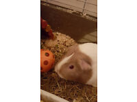 Guinea pigs and Accessories