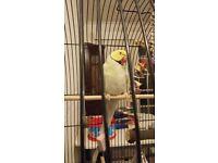 Yellow Indian Ringneck Parrot