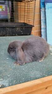 Blue and blue otter mini lops, ready for new homes now Elizabeth Park Playford Area Preview