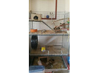 2 very tame young Degu's with 3 storey cage with everything to get you started