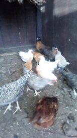 beige cuckoo bantam chicks