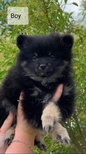 PURE BREED Pomeranian Puppies