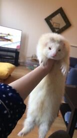 Adult Male Semi Angora Ferret