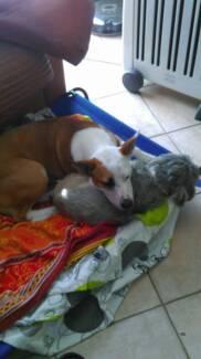 Beautiful loving Female desexed Kelpie x Terrier Highland Park Gold Coast City Preview